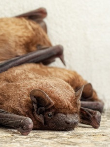 California bat removal